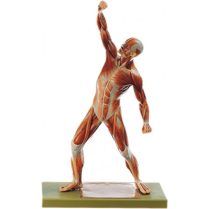 Anatomie-Muskelfiguren