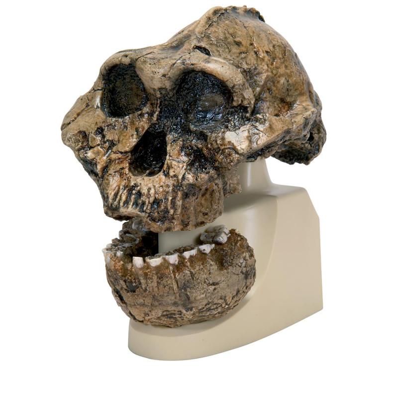 Schädelrekonstruktion Australopithecus boisei