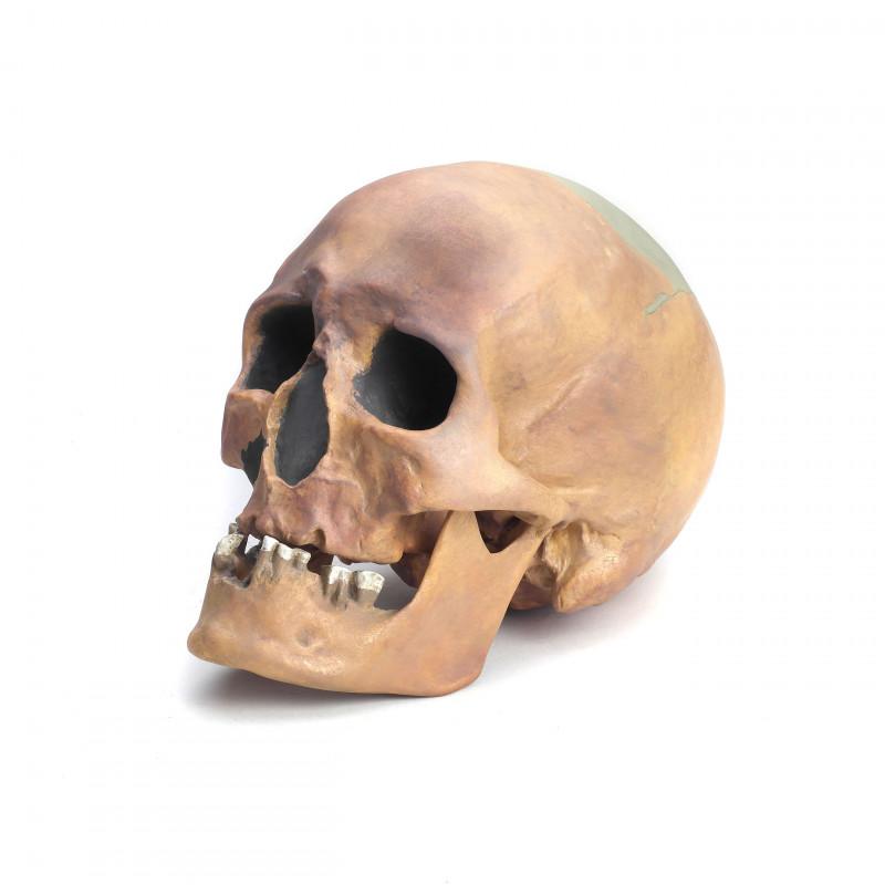 Schädelrekontruktion von Homo sapiens