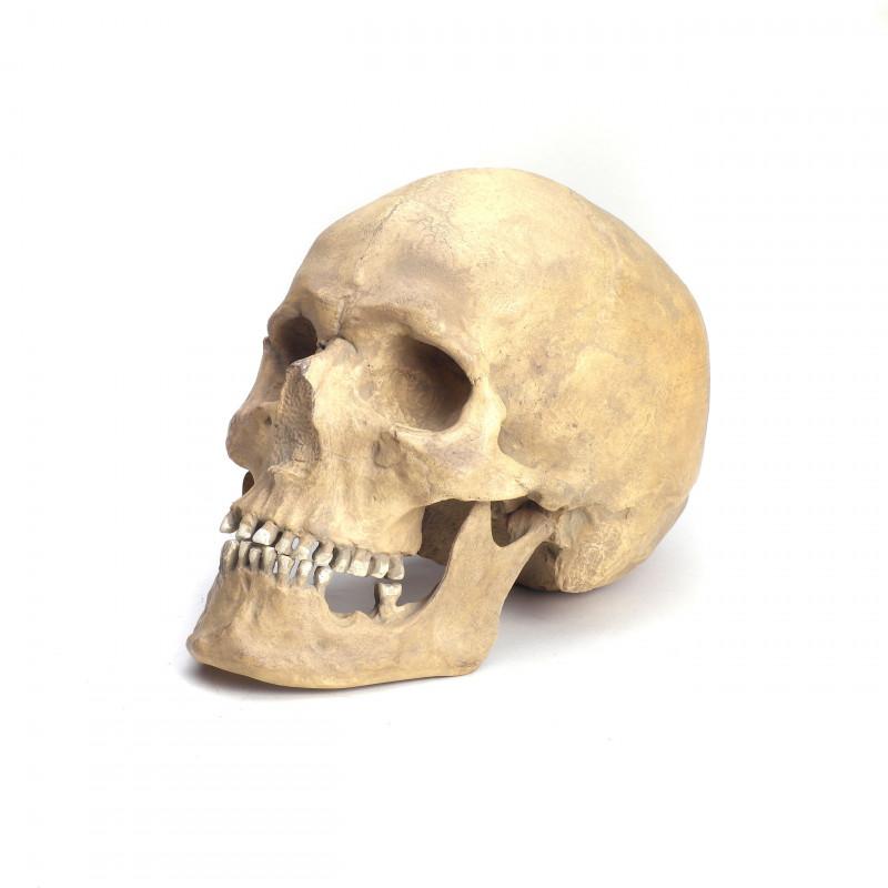 Schädelrekonstruktion Homo sapiens