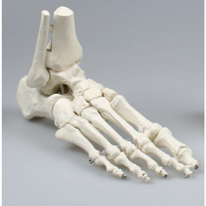 Fußskelett mit Schien- und Wadenbeinansatz
