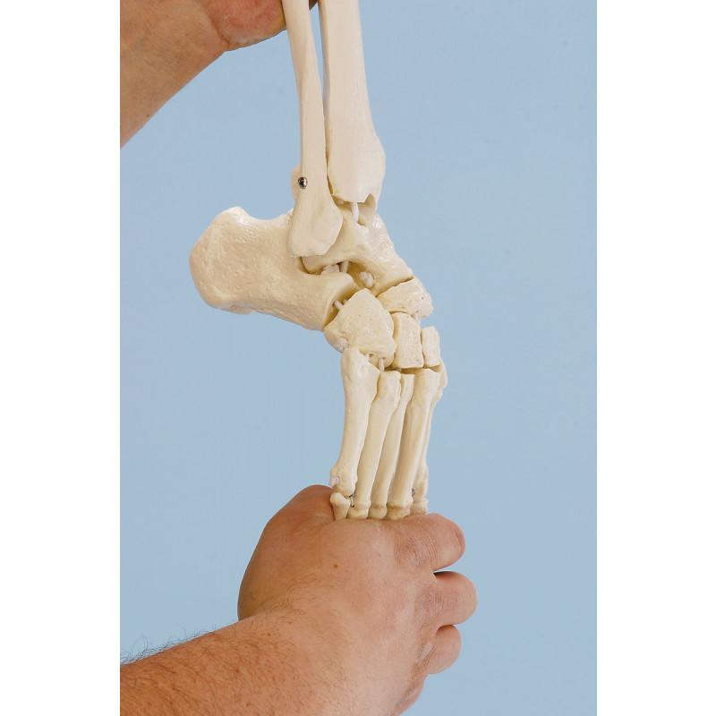 Beinskelett mit Beckenhälfte und flexiblem Fuß