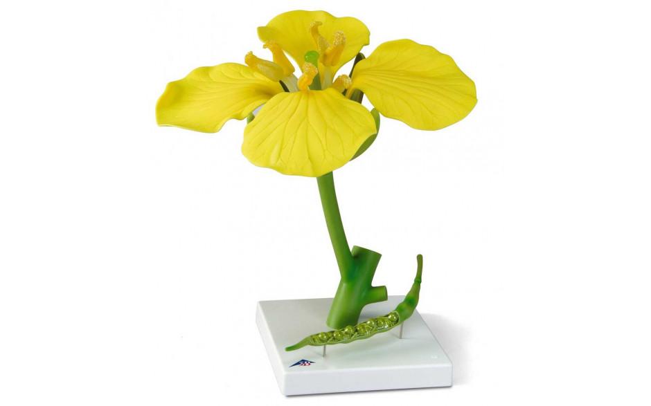 Modell Raps (Brassica napus ssp. oleifera)