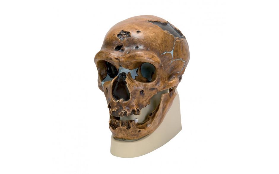 Schädelrekonstruktion von Homo neanderthalensis