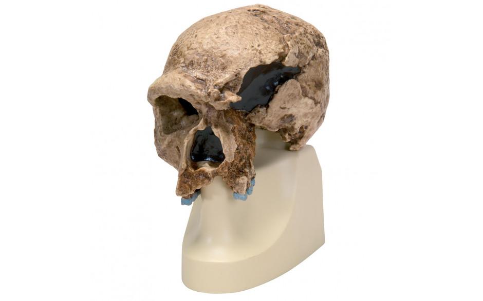 Schädelreplikat Homo steinheimnensis (Berkhemer, 1936)