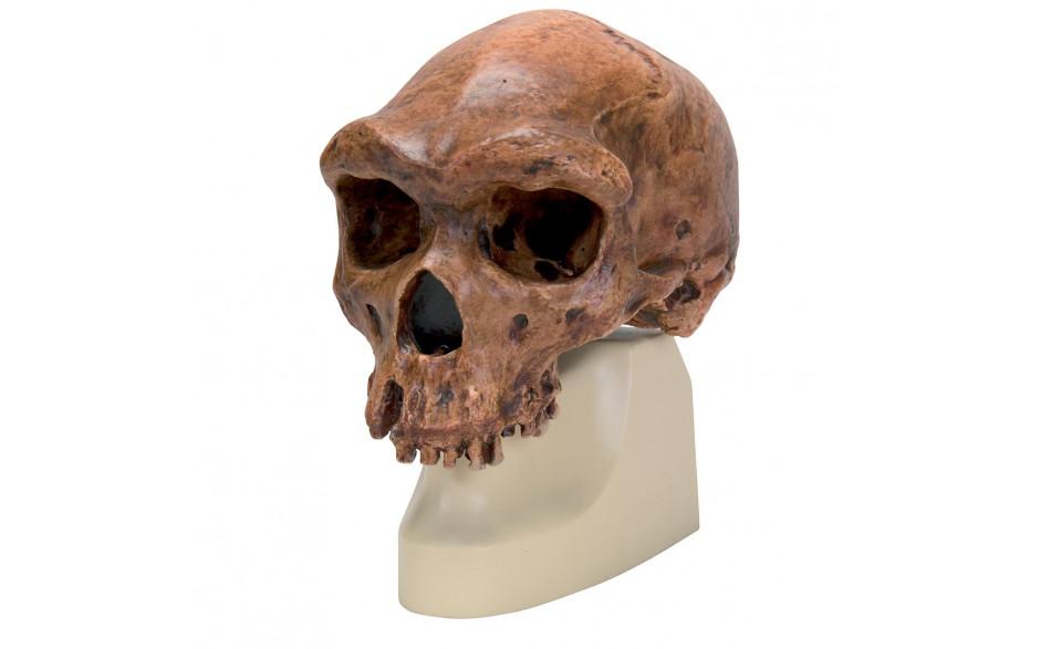 Schädelrekonstruktion von Homo erectus rhodesiensis