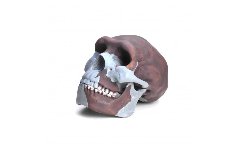 Schädelrekonstruktion von Homo erectus pekinensis